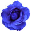 Flower Rose Blue No Back Image